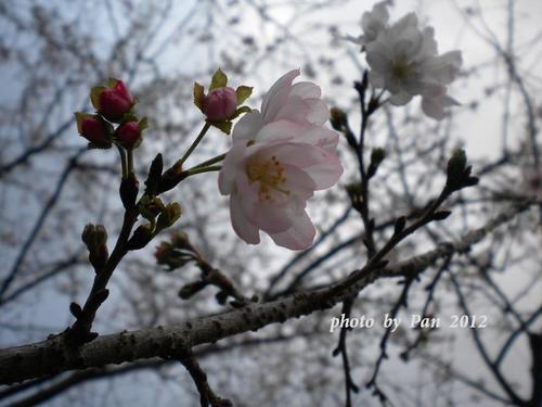 偕楽園表門の寒桜?.jpg
